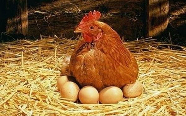 بيض، دجاج، تمر هندي وأعلاف من الكيان الصهيوني  وقريباً ستكون الفضيحة بجلاجل  انتظرونا